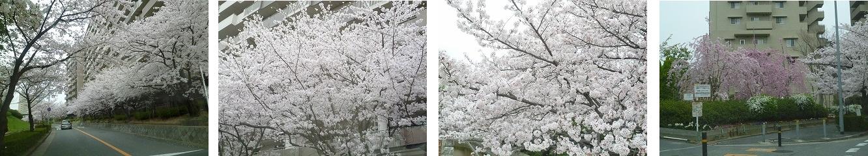 お花見ドライブ<アクティブライフ箕面>_c0107602_11102357.jpg