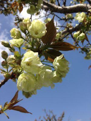 まだまだ桜!_e0103327_21291922.jpg