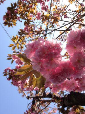 まだまだ桜!_e0103327_21291937.jpg
