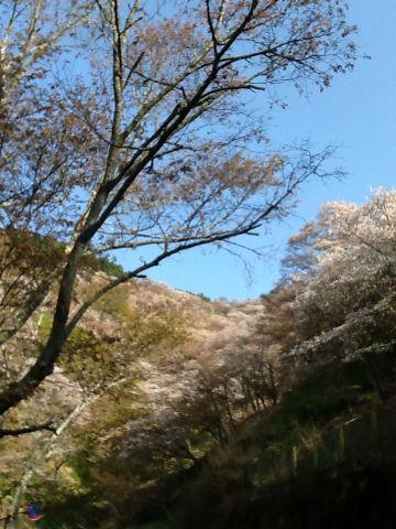 吉野山  桜_c0124828_19142226.jpg