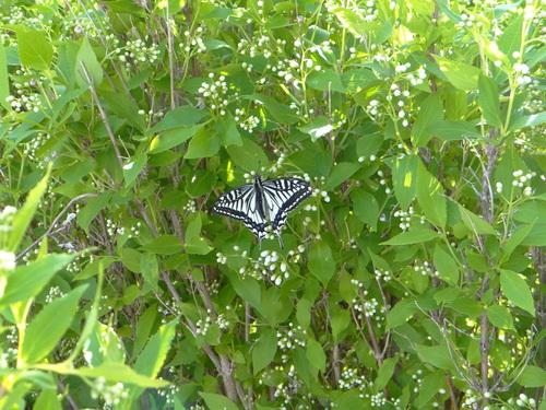 ナミアゲハ他 家の卯の花に_d0254540_18421149.jpg