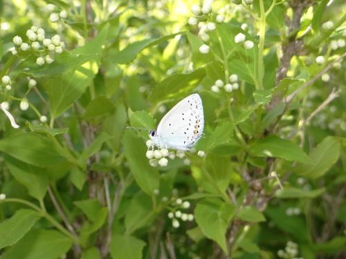 ナミアゲハ他 家の卯の花に_d0254540_18454845.jpg