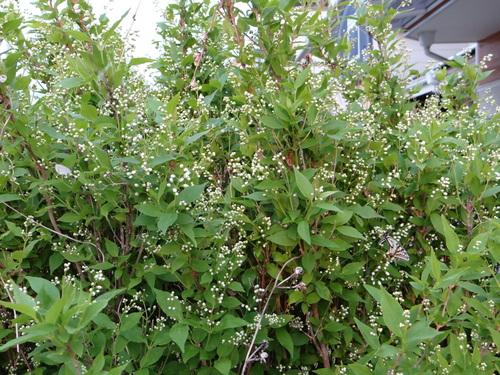 ナミアゲハ他 家の卯の花に_d0254540_18493264.jpg