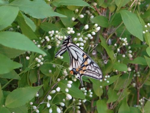 ナミアゲハ他 家の卯の花に_d0254540_18504941.jpg
