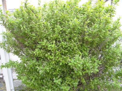 ナミアゲハ他 家の卯の花に_d0254540_18555435.jpg