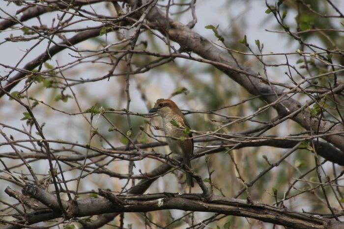 2013.4.8 馬入ふれあい公園・地味な鳥たち_c0269342_0223433.jpg