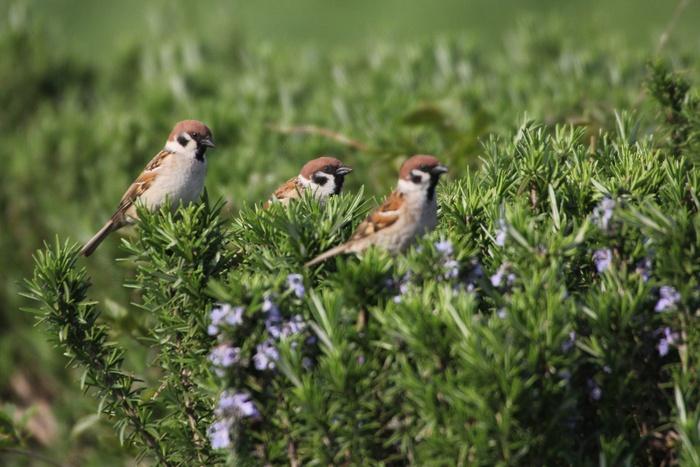 2013.4.8 馬入ふれあい公園・地味な鳥たち_c0269342_064760.jpg