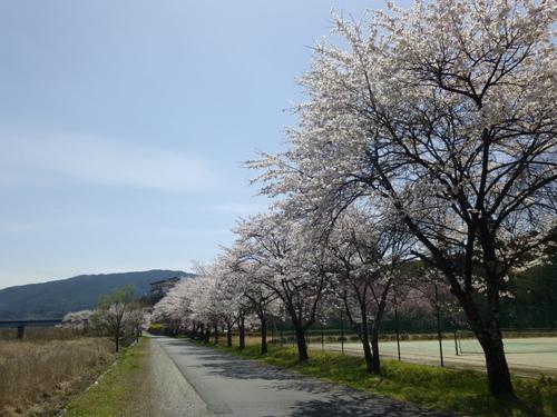 桜満開!_c0238069_12411615.jpg