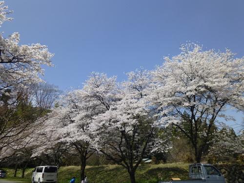 桜満開!_c0238069_1241382.jpg