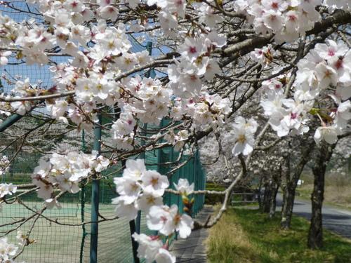 桜満開!_c0238069_12415673.jpg