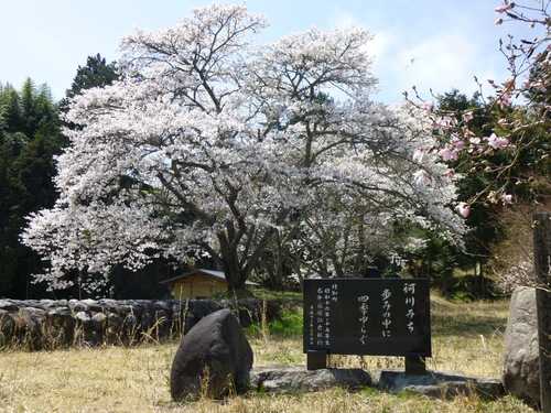 桜満開!_c0238069_12421417.jpg