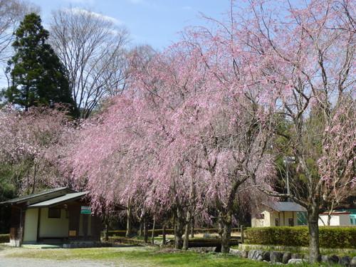 桜満開!_c0238069_12424266.jpg