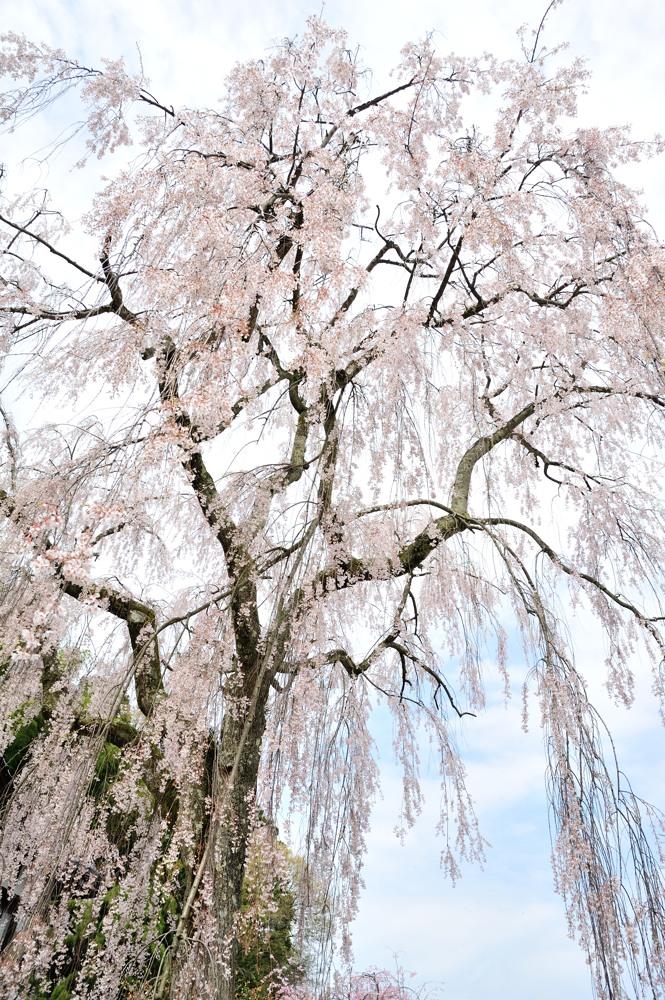 桜のはしご_c0220824_18152153.jpg