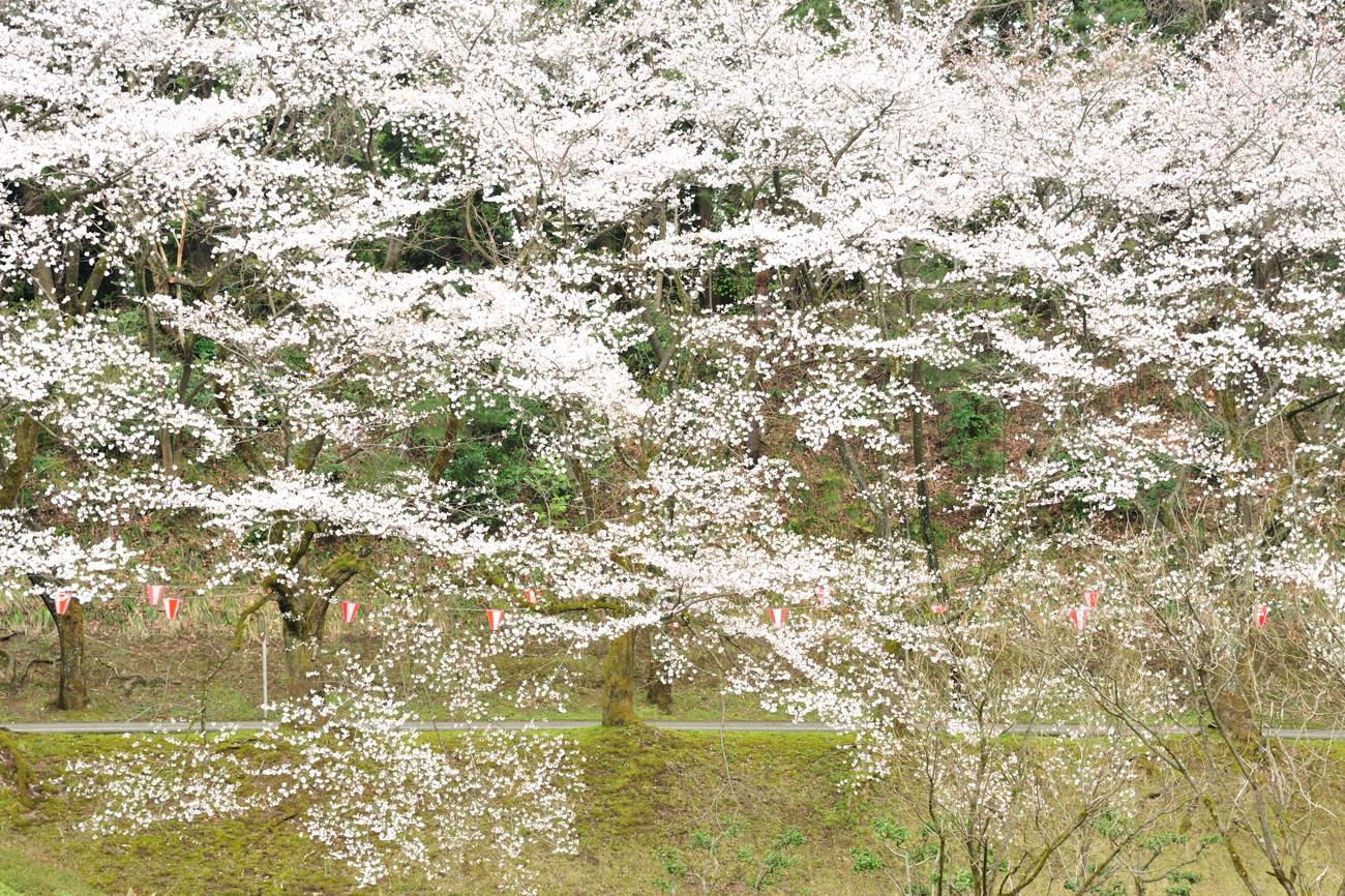 桜のはしご_c0220824_18154460.jpg