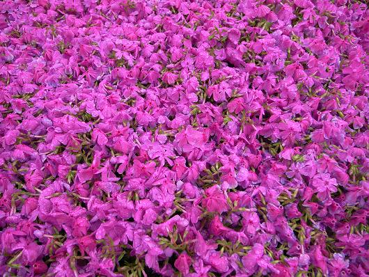 雨の芝桜_d0052327_2422588.jpg