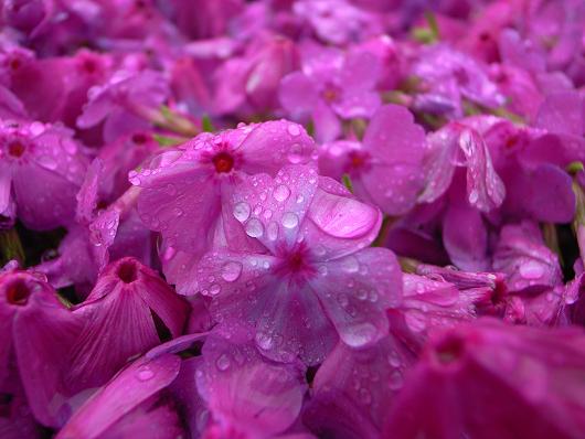 雨の芝桜_d0052327_2425284.jpg
