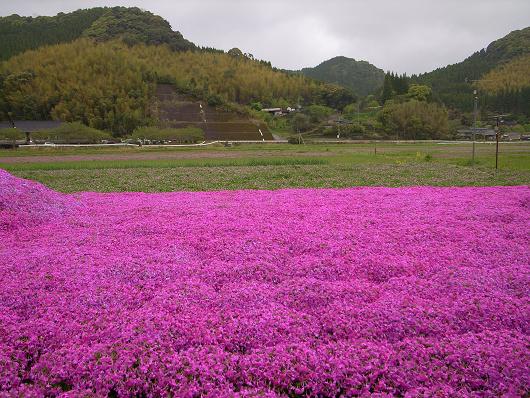 雨の芝桜_d0052327_2431873.jpg