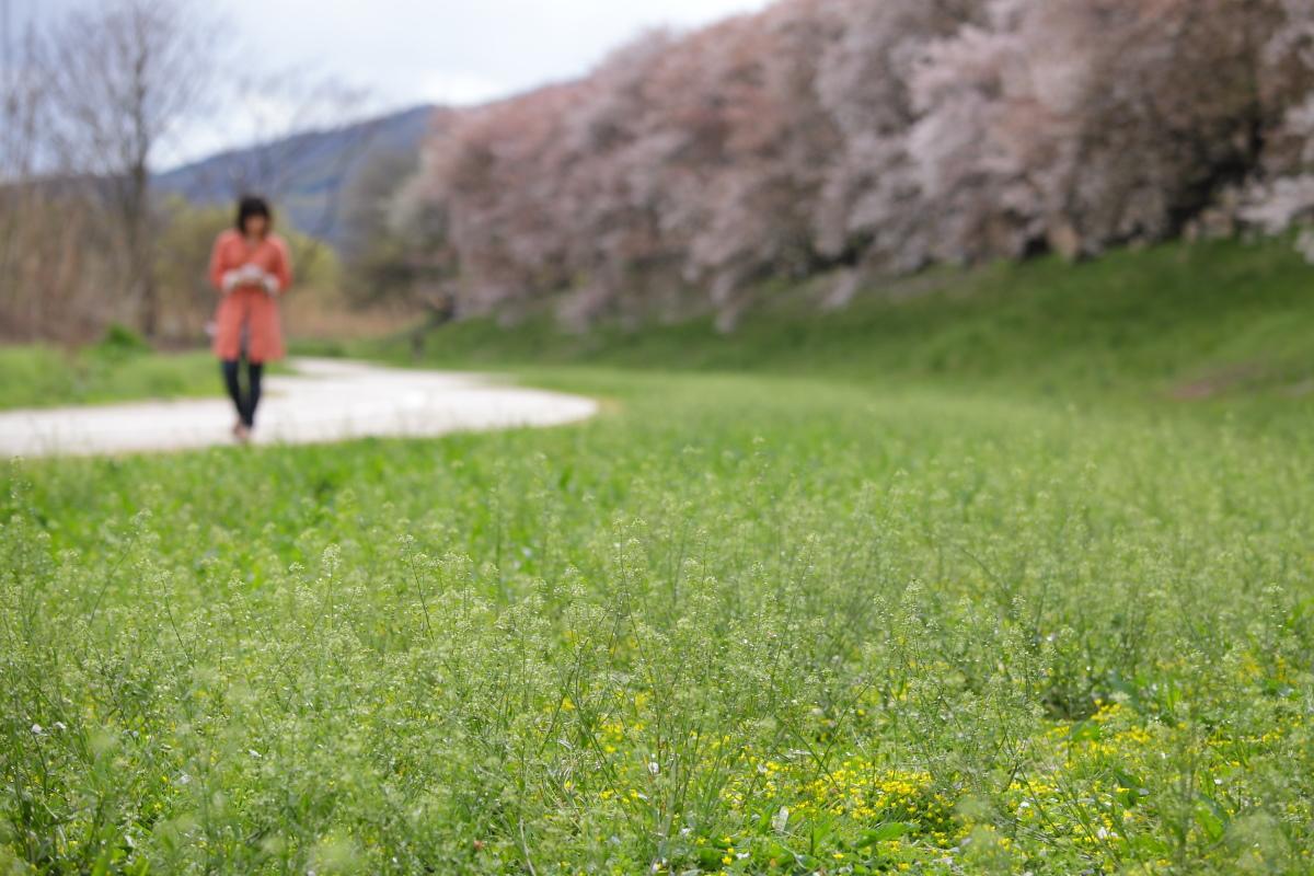 桜 2013 <京都 背割堤> _f0021869_22303475.jpg