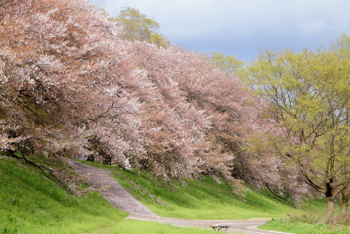 桜 2013 <京都 背割堤> _f0021869_22313193.jpg