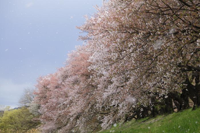 桜 2013 <京都 背割堤> _f0021869_22323942.jpg