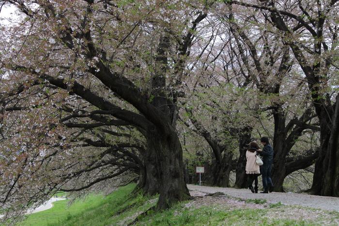 桜 2013 <京都 背割堤> _f0021869_2244372.jpg