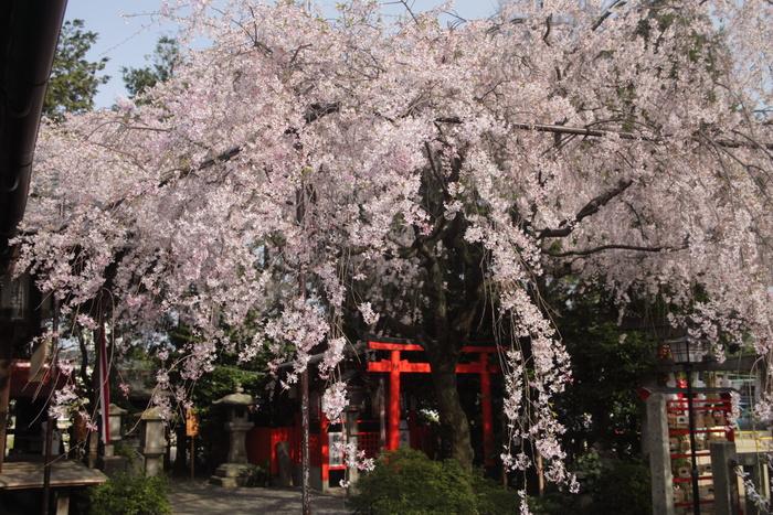桜 2013 <京都 水火天満宮~上品蓮台寺> _f0021869_246477.jpg