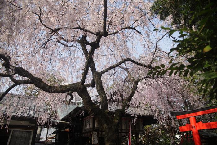 桜 2013 <京都 水火天満宮~上品蓮台寺> _f0021869_247611.jpg