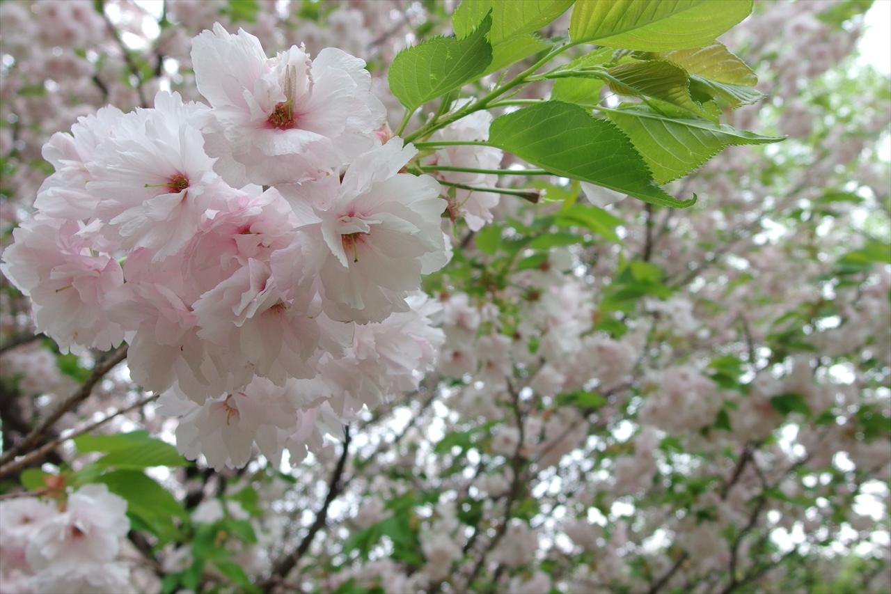 八重桜_d0123171_13271248.jpg