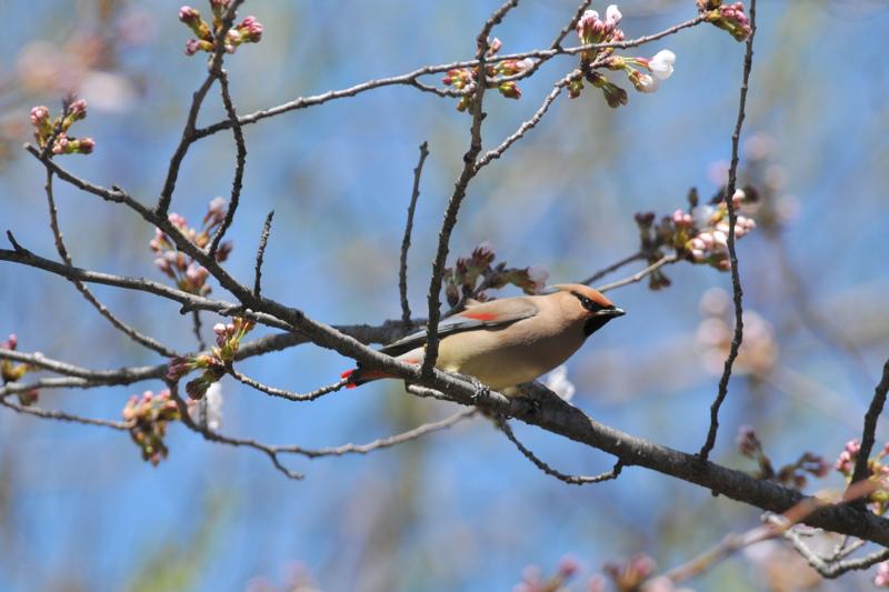桜とヒレンジャク Ⅰ_f0053272_8364088.jpg