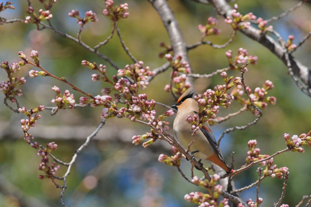 桜とヒレンジャク Ⅰ_f0053272_836629.jpg