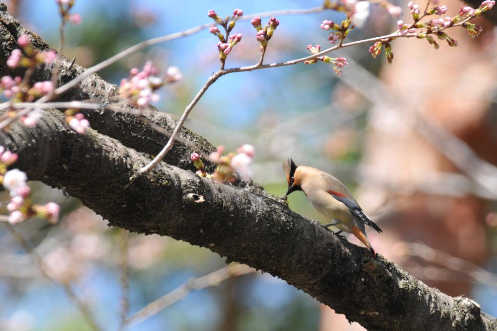 桜とヒレンジャク Ⅰ_f0053272_8373333.jpg
