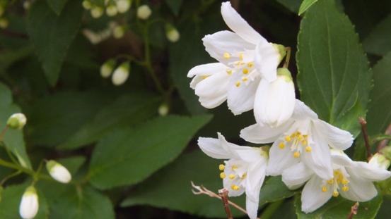 白い花が咲いてる~♪_b0214473_1611349.jpg