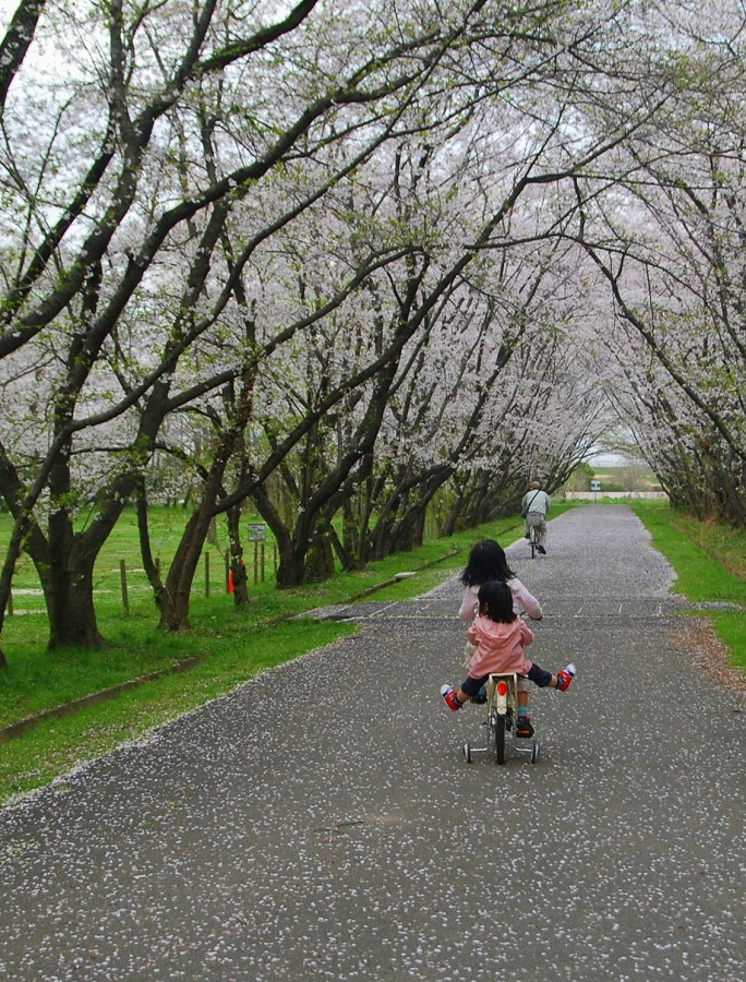 桜散る_c0187781_1712739.jpg