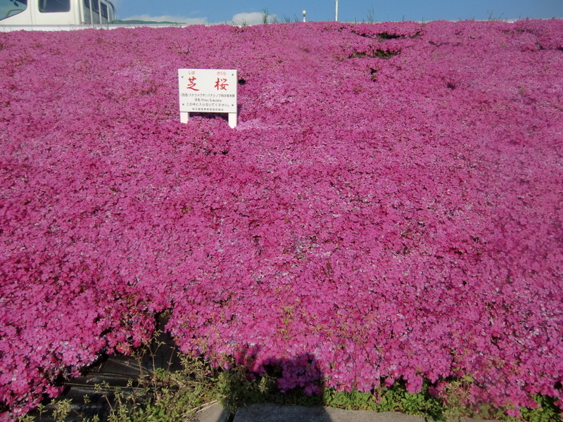 4月11日  芝桜が満開_d0278912_2383592.jpg