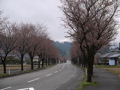 今日の桜_f0236012_11195477.jpg