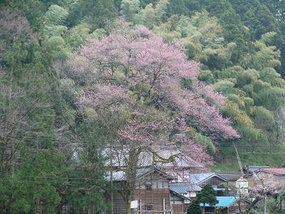 今日の桜_f0236012_11255198.jpg