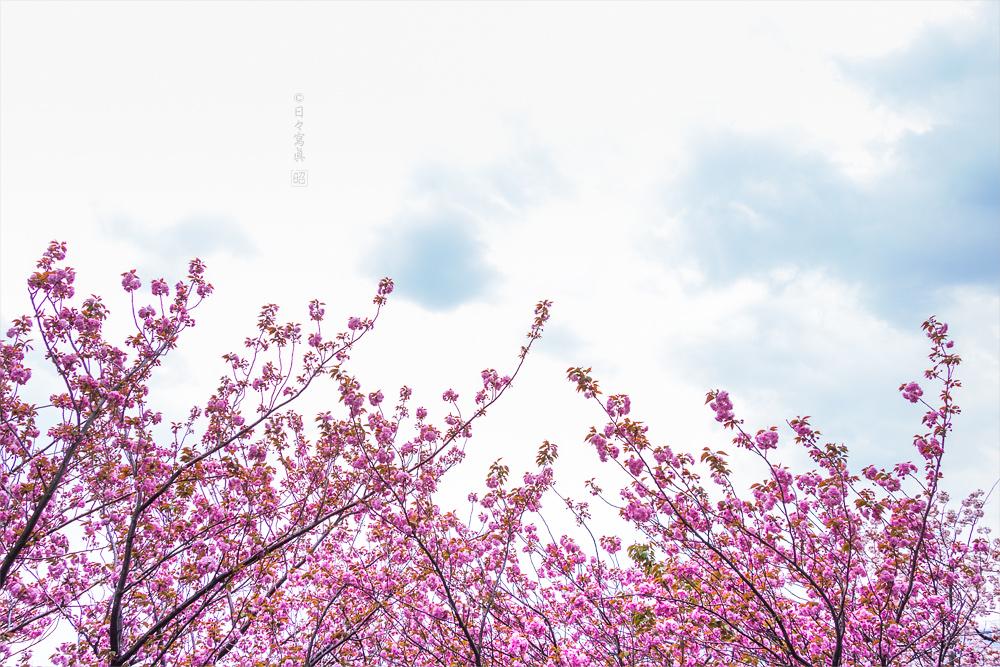 八重桜_e0117517_2152484.jpg