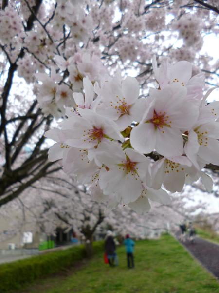 手賀沼の桜_c0004024_17582630.jpg