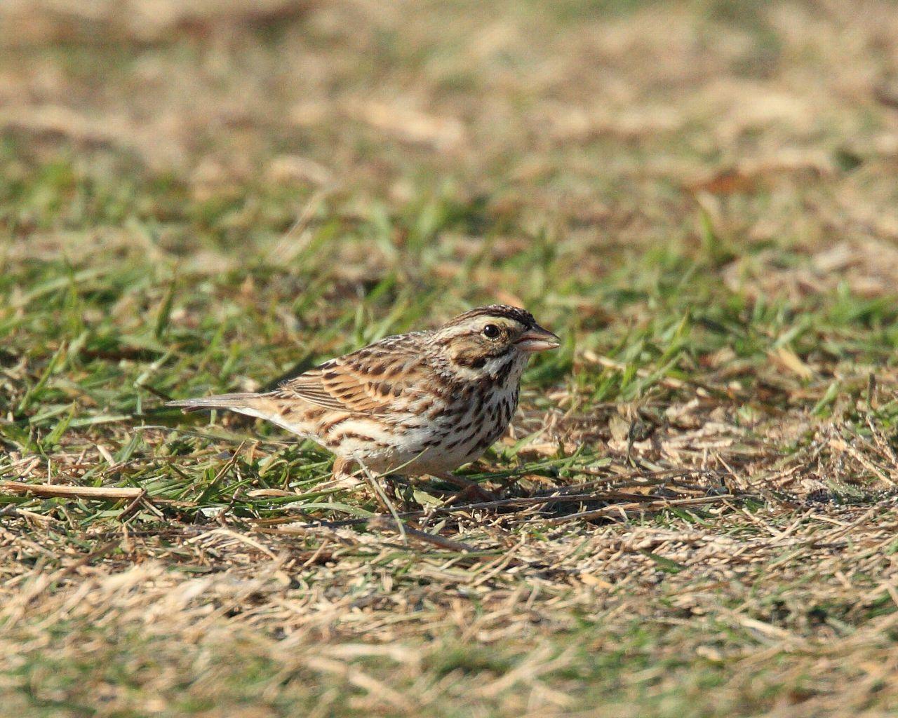 フロリダの鳥2013年春その4: 日本では珍鳥がそこらじゅうに!_f0105570_21575173.jpg