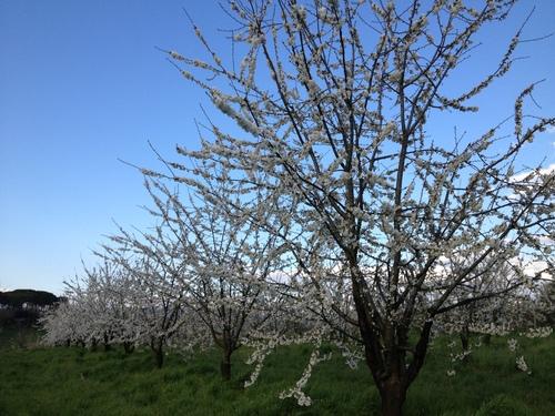 イタリアでお花見_e0186099_5425317.jpg