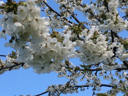 イタリアでお花見_e0186099_5473720.jpg
