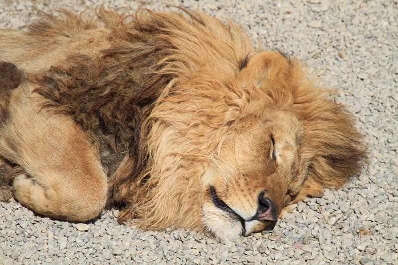 2013.2.14 群馬サファリのライオンちゃん【Lion】_f0250322_1545285.jpg