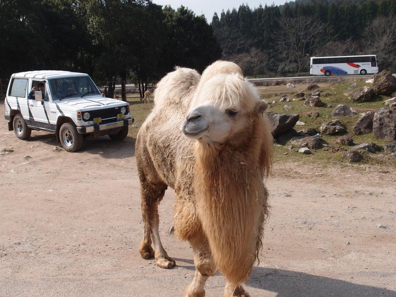 2013.3.24 秋吉台サファリランドのふたこぶラクダ 【Two-humped camel】_f0250322_22465615.jpg