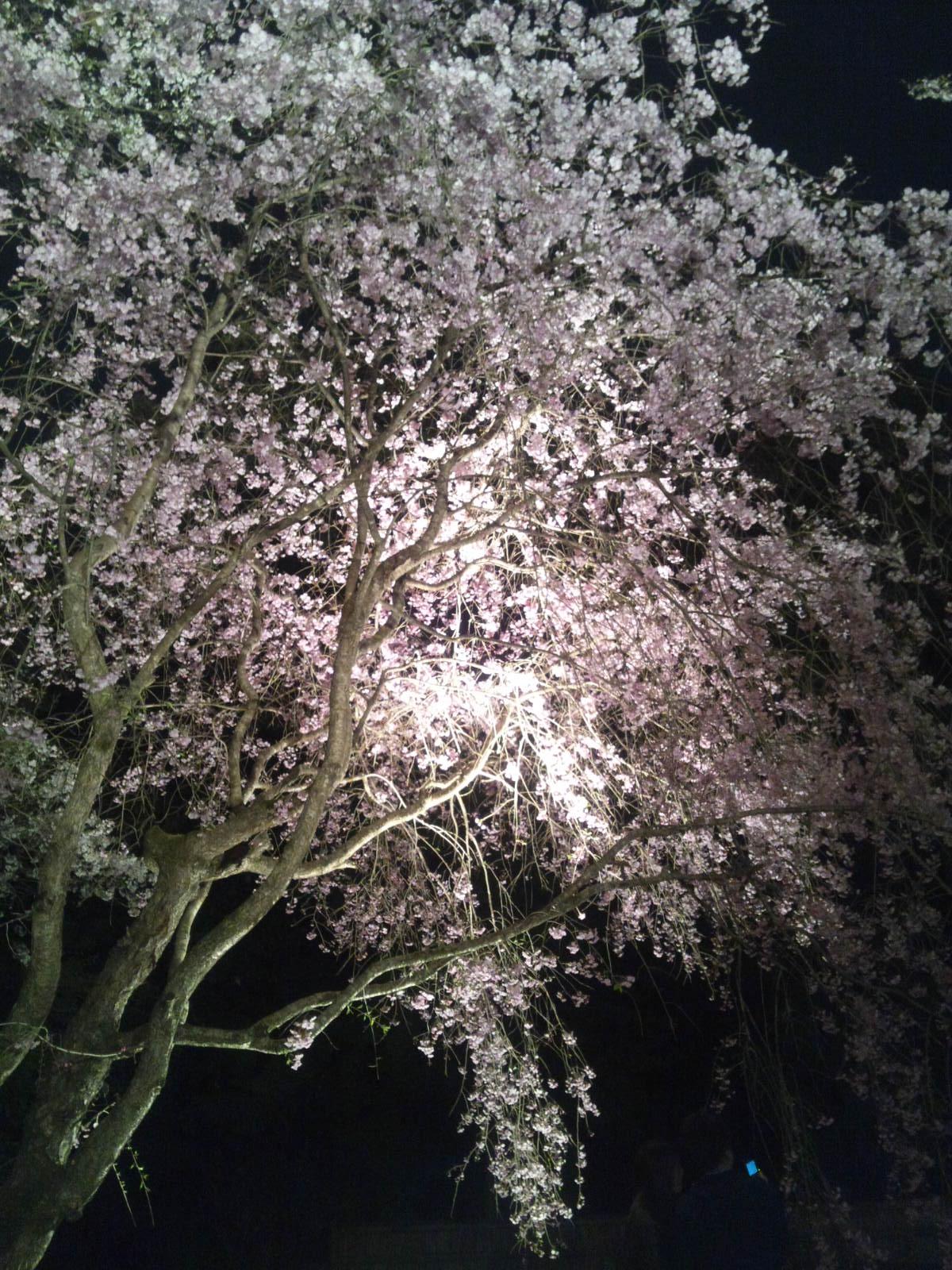 観桜茶会_d0248624_11531570.jpg