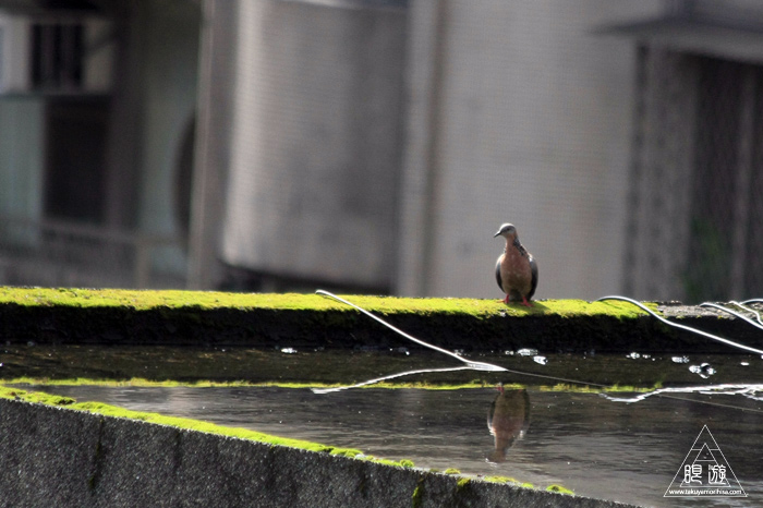 172 台北 ~台湾の野鳥~_c0211532_2342492.jpg
