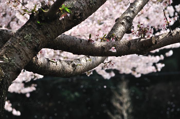 大分市/七瀬川自然公園/終焉の桜_f0234062_22164187.jpg