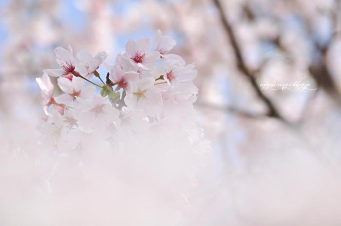 大分市/七瀬川自然公園/終焉の桜_f0234062_22164363.jpg