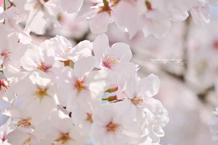 大分市/七瀬川自然公園/終焉の桜_f0234062_22164364.jpg
