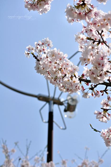 大分市/七瀬川自然公園/終焉の桜_f0234062_2216449.jpg