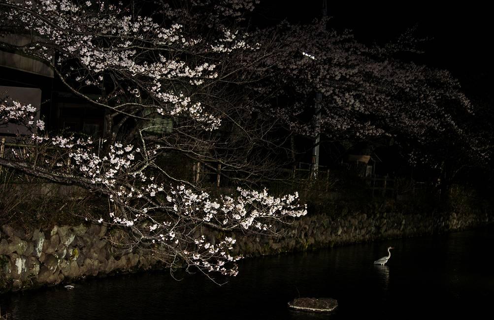 夜桜・・・_e0271864_6564649.jpg